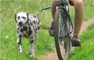 Дрессировка собаки к движению с велосипедом